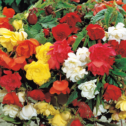 Begonia 'Pendula' Mix