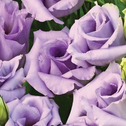 Lisianthus 'Summer Blue Roses'