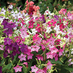 Nicotiana 'Eau de Cologne Mixed' (Garden Ready)