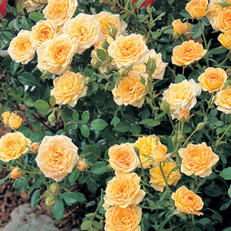 Rose 'Yellow Fairy' (Shrub Rose)