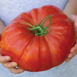 Tomato 'Gigantomo'® F1 Hybrid