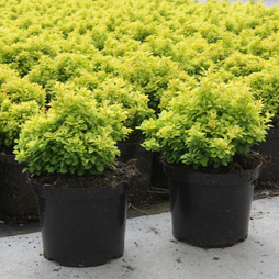 Berberis thunbergii 'Tiny Gold'
