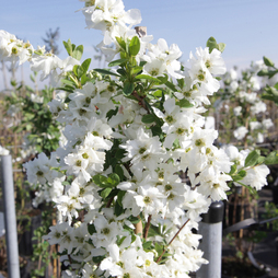 Exochorda x macrantha 'The Bride'