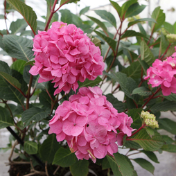 Hydrangea macrophylla 'Endless Summer - Bloomstar'