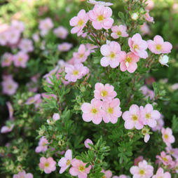 Potentilla fruticosa 'Pink Beauty'