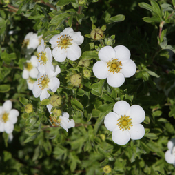 Potentilla fruticosa 'Mount Everest'