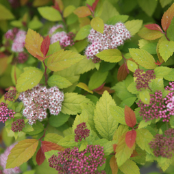 Spiraea japonica 'Double Play Big Bang'