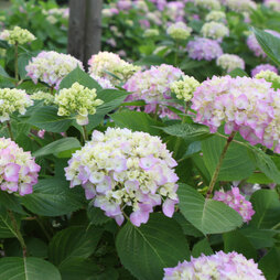 Hydrangea macrophylla 'Endless Summer - The Original'