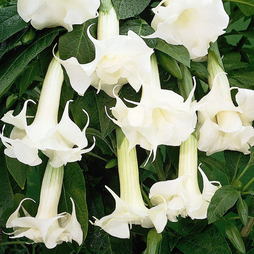 Angels Trumpets 'Fragrant White'