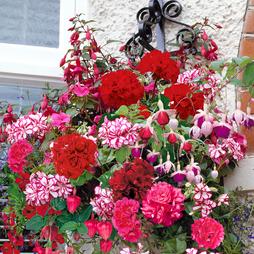 Geranium and Fuchsia Basket Collection