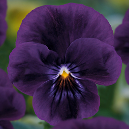 Viola 'Volante Purple'