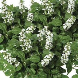 Ajuga reptans f. albiflora 'Alba'
