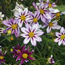 Coreopsis 'Cosmic Evolution'