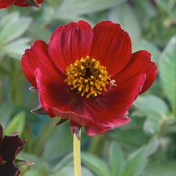 Cosmos atrosanguineus 'Spellbound' (Large Plant)