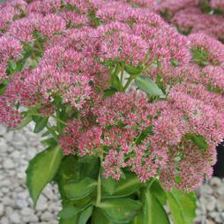 Sedum 'Autumn Delight' (Large Plant)