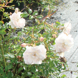 Rose 'White Fairy' (Polyantha)