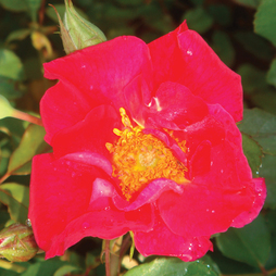 Rose 'Easy Elegance Great Wall' (Shrub Rose)