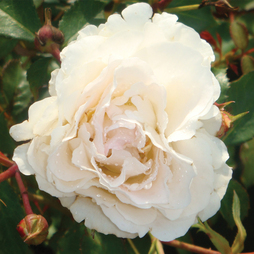 Rose 'Easy Elegance Snowdrift' (Shrub Rose)
