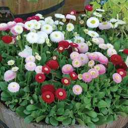 Bellis 'Bellisima Mixed' (Garden Ready)