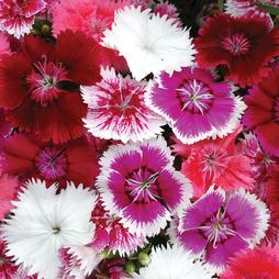 Dianthus 'Festival Mixed' (Garden Ready)