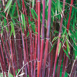 Umbrella Bamboo 'Asian Wonder'