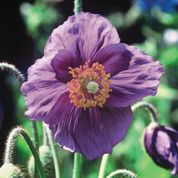 Meconopsis baileyi 'Hensol Violet'