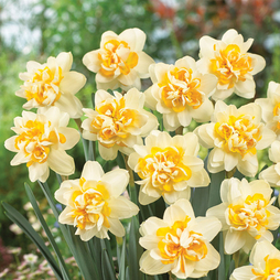 Narcissus 'Peach Cobbler'