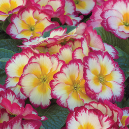 Primrose 'Scentsation Raspberry Ripple'
