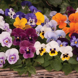 Viola 'Autumn Jewels Mixed' (Garden Ready)