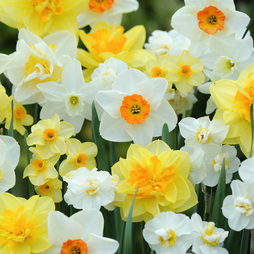 Narcissus 'T&M Mixed'