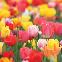 Tulip 'Triumph Mixed'