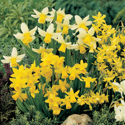 Narcissus 'Miniature Mixed'