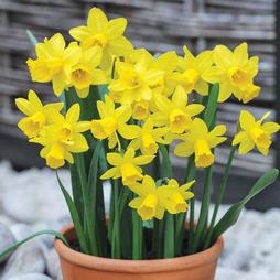 Narcissus 'Tête á Tête'