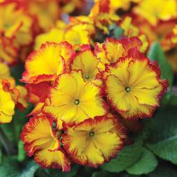Polyanthus 'Firecracker'