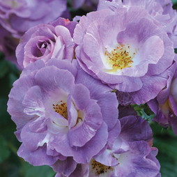 Rose 'Blue for You' (Floribunda Rose)