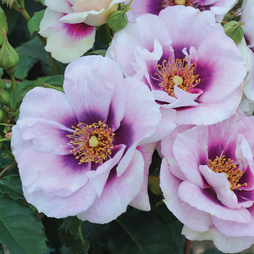 Rose 'Blue Eyes' (Floribunda Rose)