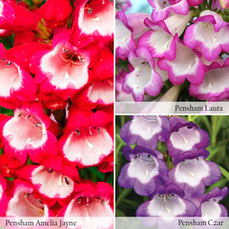 Penstemon 'Pensham Trio'