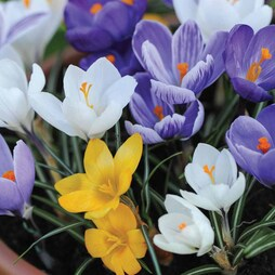 Crocus 'T&M Mix'