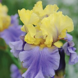 Iris 'Edith Wolford' (Re-blooming)