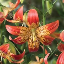 Lily 'Fusion'