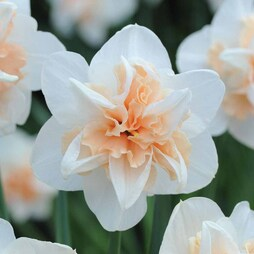 Narcissus 'Replete Improved'