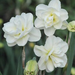 Narcissus 'Rose of May Improved'