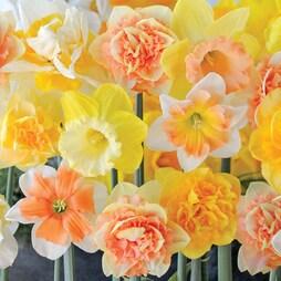 Narcissus 'Citrus Sorbet'