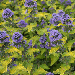 Caryopteris x clandonensis 'Hint of Gold'