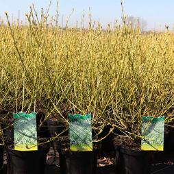 Cornus sericea 'White Gold'