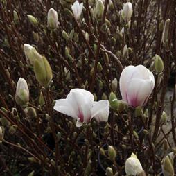 Magnolia x soulangeana 'Alba Superba'