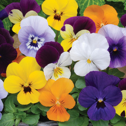 Viola Sorbet 'XP T&M Mixed' (Garden Ready)
