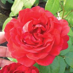 Rose 'Naomi' (Hybrid Tea Rose)