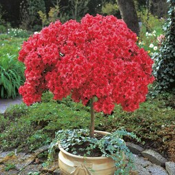 Azalea 'Japanese Red'