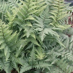 Fern 'Fantastic Ghost'